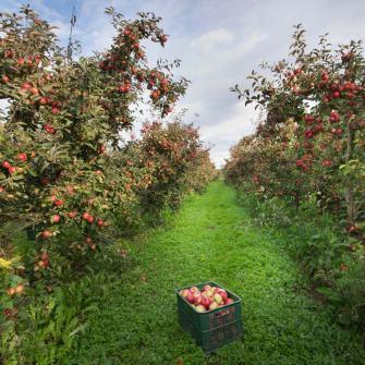 verger-cueillette-pommes